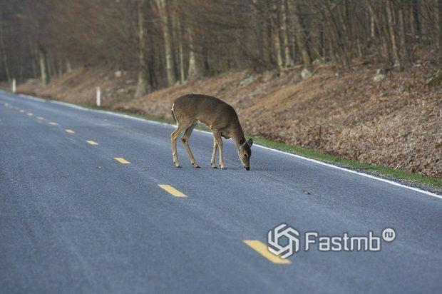 Дикие животные на дорогах