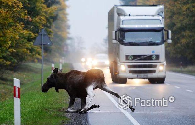 Крупные животные на дороге